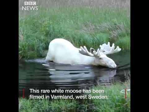 Rare White Moose filmed in Sweden