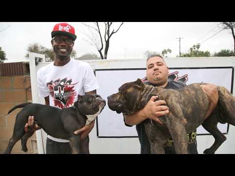 The 75 000 Micro Pit Bull