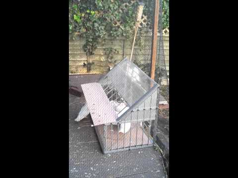 4th time of using Belgian Sputnik Trap for Doves