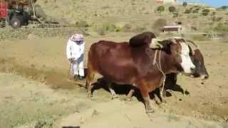 طريقة الأجداد في حرث المزارع بالثيران ( البقر ) بعدسة ابو منار 1436/2/17هـ