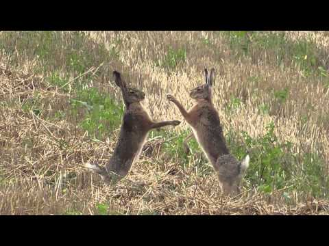 boxing hares in slow motion - boxende Hasen (Leporidae)