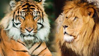 Singa Vs Harimau (Kira-kira Siapa Yang Menag Hayoo...????)