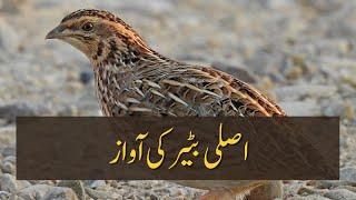 Batair ki Awaz | Quail Sounds ---  [Tank, Khyber Pakhtunkhwa]