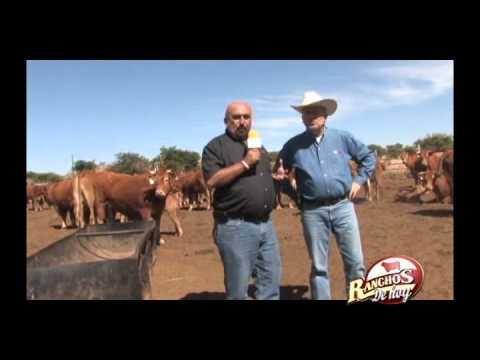 Rancho La Punta Ganado Limousin dondades de la raza