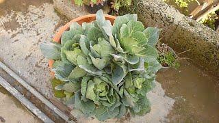 زراعة نبات الملفوف اليخنة من دون بذور انتاج كبير ورد الشتاء Growing cabbage