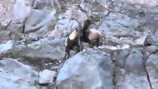 Böyle Kavga Görülmedi. Keçilerin Liderlik Kavgası