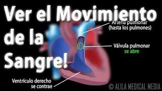 La Circulación Sanguínea a Través del Corazón, Animación. Alila Medical Media Español.