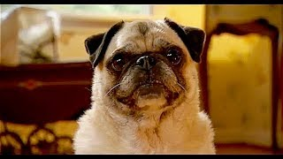 Dog Gone ... short film pug