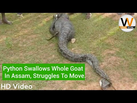 Xxx Mp4 Python Swallows Whole Goat In Assam Viral Vital 3gp Sex