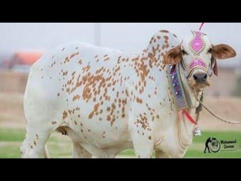 Xxx Mp4 Sohrab Goth Maweshi Mandi 2017 Mandi Updates 2017 3gp Sex