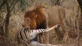 Lions Documentary -