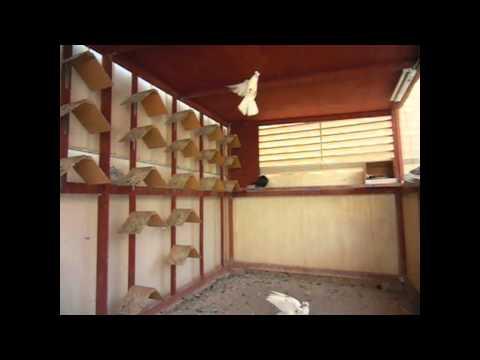 roller pigeon حمام قطيفي من جدة