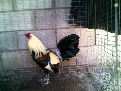 gallo roy Brady puro en cuida del partido gavilanes campo 2 disponibles cel 41568022