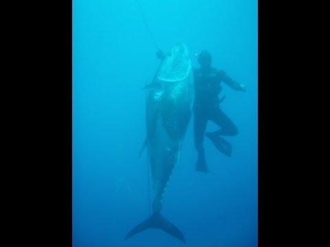 Spearfishing Bluefin tuna 282kg 621.7pounds