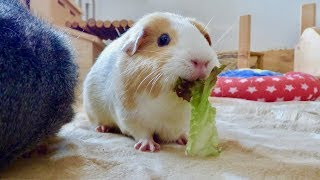 5 Ways into Your Guinea Pig