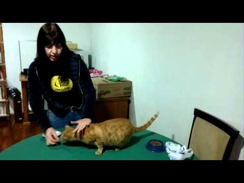Adestramento de gatos