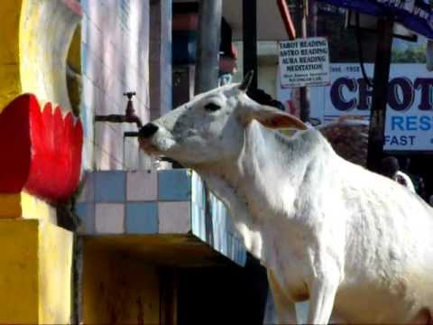 Funny - Cow drinking from street tap in Rishikesh India