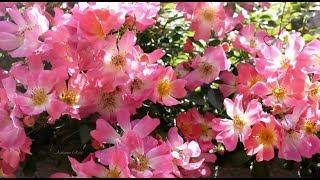 ♥ERNESTO CORTAZAR  - Autumn Rose♥