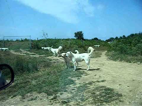 Pastori Abruzzesi incazzati