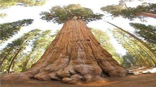 هل شاهدت من قبل أضخم شجرة في العالم ؟