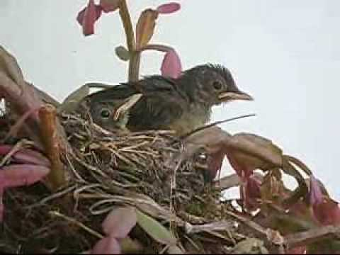 Turdus rufiventris Sabiá Filhotes Baby Birds
