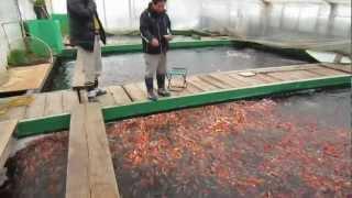 Niigata Japan Koi Fish Farm Tour - Breeder: Otsuka Koi Farm