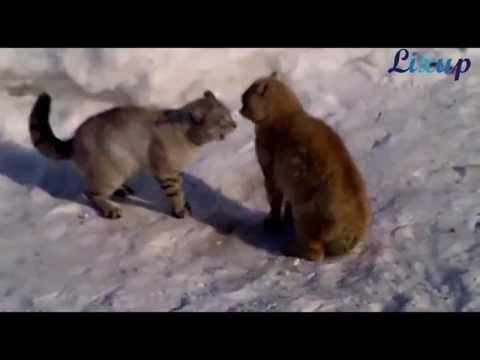 Las mejores peleas de gatos de la historia