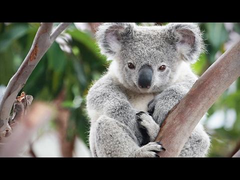 Xxx Mp4 Cute Koalas Playing Funny Koala Bears Funny Pets 3gp Sex