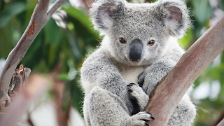 Cute Koalas Playing 🐨 Funny Koala Bears [Funny Pets]