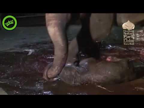 Mamãe elefante dando a luz filhote com 118 kls. e 98 cms.