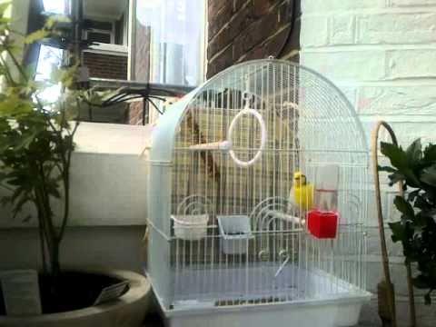 my canary timbrado