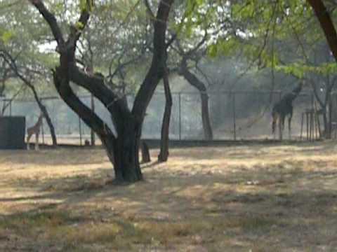 AW, Rahil:  Rahil Spots A Newborn Giraffe