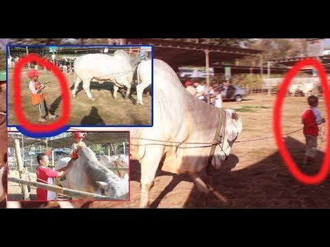 Gemeisin Dan Nakutin Anak Kecil Ngiring Sapi Dan Naik Sapi Seperti Koboi