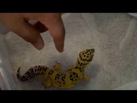 Leopard Gecko Rack Tour