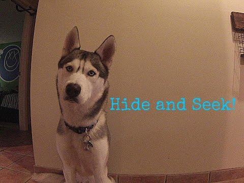 Husky Hide and Seek