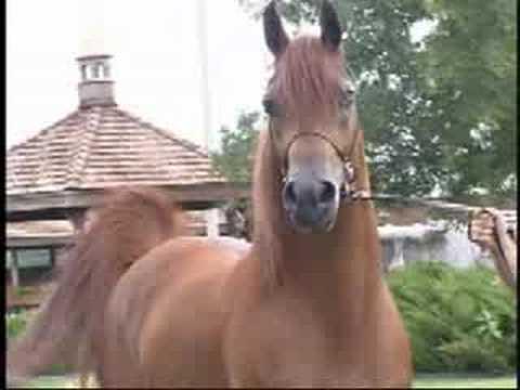 Xxx Mp4 Dancing Chestnut Arab Stallion Best Video 3gp Sex