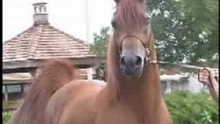 Dancing Chestnut Arab Stallion (Best Video)