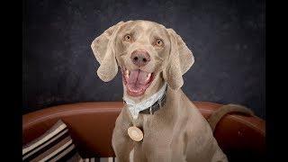 Oscar - Weimaraner - 3 Weeks Residential Dog Training