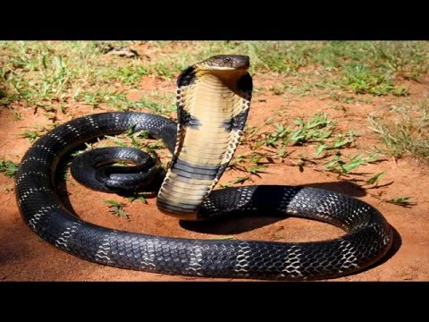 The Most Dangerous Snake Discovery Channel Documentary HD