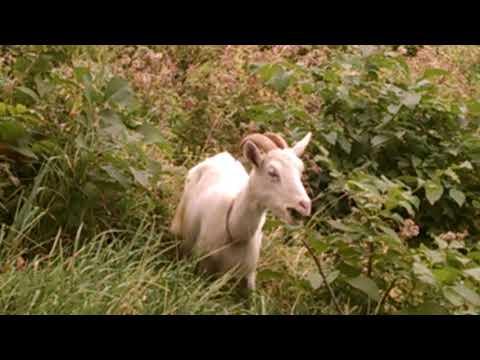 Xxx Mp4 Кози на березі Ужа Ужгород Goat On The Shore Of The Uzh Uzhgorod 3gp Sex