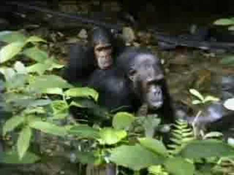 Complex mating rituals of chimpanzees in the jungle BBC wildlife