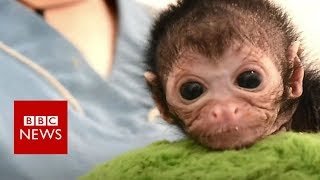 Baby spider monkey recovers after fall - BBC News