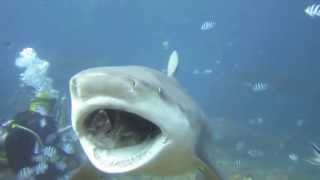 Punched a 3m Bull Shark in the nose underwater.