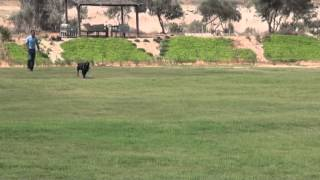 Rottweiler great attack