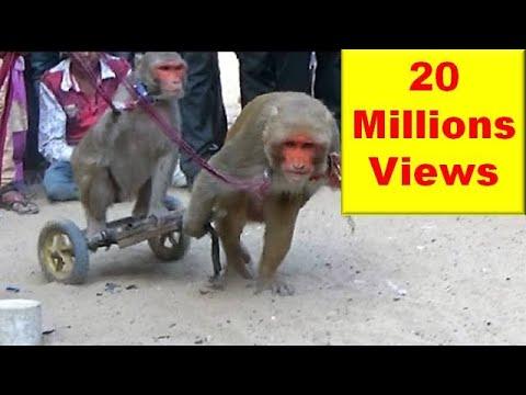 Xxx Mp4 बन्दर बंदरिया के कारनामे मदारी का खेल Comedy Drama Show Of Funny Indian Monkey Madari On Street 3gp Sex