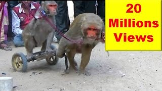 बन्दर बंदरिया के कारनामे: मदारी  का खेल Comedy Drama Show Of Funny Indian Monkey , Madari On Street