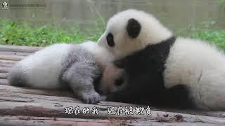 Panda Cub Cheng Shi : Don
