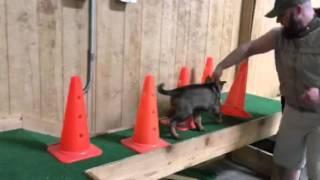 Early Puppy Training Development