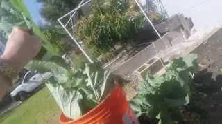 Harvesting Super Fresh Collard Greens