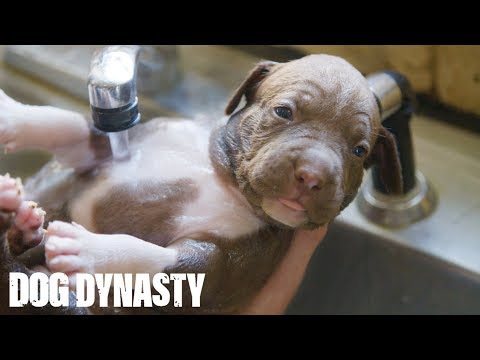 Xxx Mp4 Giant Pitbull Hulks 15000 Puppies DOG DYNASTY 3gp Sex